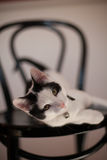Cat. Black and white cat on a chair Stock Image
