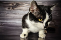 Cat black and white. Close shot Royalty Free Stock Image