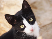 Cat, black and white, (27) Stock Images
