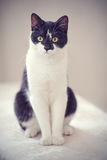 Cat of a black-and-white color Stock Images