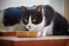 Cat of a black-and-white color eats from a bowl Royalty Free Stock Images