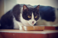 Cat of a black-and-white color eats from a bowl Royalty Free Stock Photo