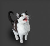 Cat of black and white color Stock Photos