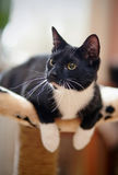 Cat of a black-and-white color Royalty Free Stock Photos