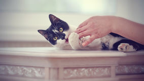 Cat of a black-and-white color plays with a hand Stock Images
