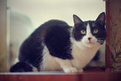 Cat of a black-and-white color Stock Image
