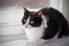 Cat of a black-and-white color sits at a window Royalty Free Stock Photography