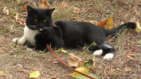 Cat black and white color stock footage