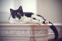 Cat of a black-and-white coloring lies Royalty Free Stock Photos