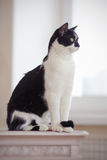 Cat of a black-and-white coloring sits Royalty Free Stock Images