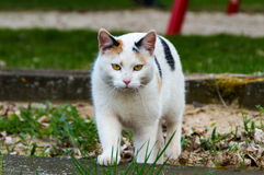 Cat with black and white fur and yellow eyes has fixed their prey Royalty Free Stock Photos