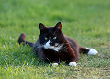 Cat. Black and white cat on grass Royalty Free Stock Photos