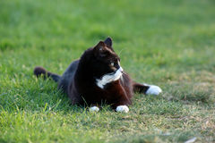 Cat. Black and white cat on grass Stock Photo