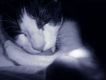 Cat in black and white royalty free stock images