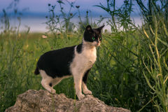 The cat. Is black and white on a rock.  looks closely into the distance Stock Photo
