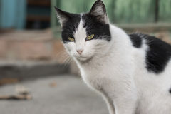 Cat. Black and white cat with serious look Royalty Free Stock Photos