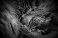 Cat black and white. Sleepy cat on the couch Stock Photos