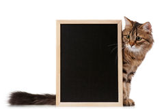 Cat with blackboard. Pretty young cat with a blackboard over white background Stock Image