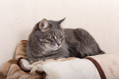 Cat on a blanket Royalty Free Stock Images