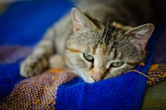 Cat on the blanket Stock Image