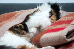 Cat in the blanket. Sleepy cat wrapped up in her favourite blanket royalty free stock photo