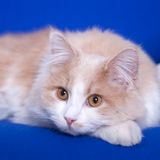Cat on a blay background Royalty Free Stock Image