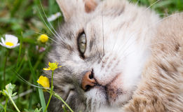A cat blink an eye  lying on the grass Royalty Free Stock Photos