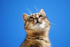 Cat and blue background. Beautiful domestic pet feral cat pose Royalty Free Stock Photo