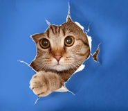 Cat in blue chromakey paper hole. Cat in blue chromakey paper background Royalty Free Stock Photography
