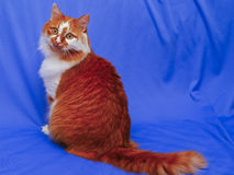 cat on the blue cloth background Stock Image