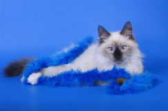 Cat with blue decoration. Royalty Free Stock Photos