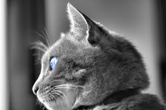 Cat. With blue eye royalty free stock images