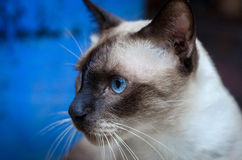 Cat blue eye Stock Photo