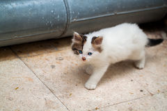 Cat. Blue Eyed Cat; baby cat Royalty Free Stock Images