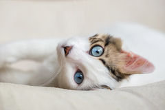 Cat. Blue Eyed Cat; Cute Cat Stock Photography