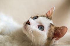Cat. Blue eyed Cat; Cute Cat Royalty Free Stock Images