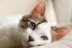 Cat. Blue eyed Cat; Cute Cat stock photos