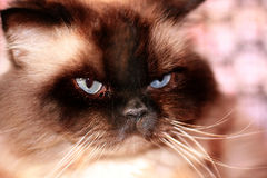 Cat with blue eyes. Fluffy cat with blue eyes and white whiskers Royalty Free Stock Photos