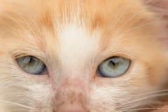Cat blue eyes Royalty Free Stock Photo