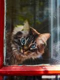 Cat with blue eyes looking out stock photography