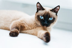 Cat with blue eyes. Lying Stock Images