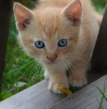 Cat with blue eyes. The cat with the most beatiful eyes Royalty Free Stock Images