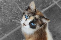Cat with blue eyes Stock Image