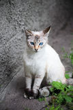 Cat with blue eyes Royalty Free Stock Photography