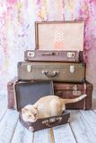 Cat with blue eyes sits near vintage suitcases. Thai white with red marks cat with blue eyes sits inside vintage suitcases on a pink background toned picture Stock Images