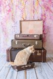 Cat with blue eyes sits near vintage suitcases. Thai white with red marks cat with blue eyes sits inside vintage suitcases on a pink background toned picture Stock Image