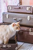 Cat with blue eyes sits near vintage suitcases Stock Photography