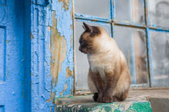 Cat with blue eyes sitting at the doorway Royalty Free Stock Photo