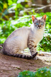 Cat with blue eyes Royalty Free Stock Photos