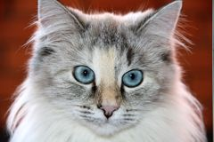 Cat with blue eyes. And a speaking glance Stock Image